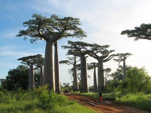 Wisdom is like a Baobab tree, no one individual can embrace it: Afrikaans spreekwoord.